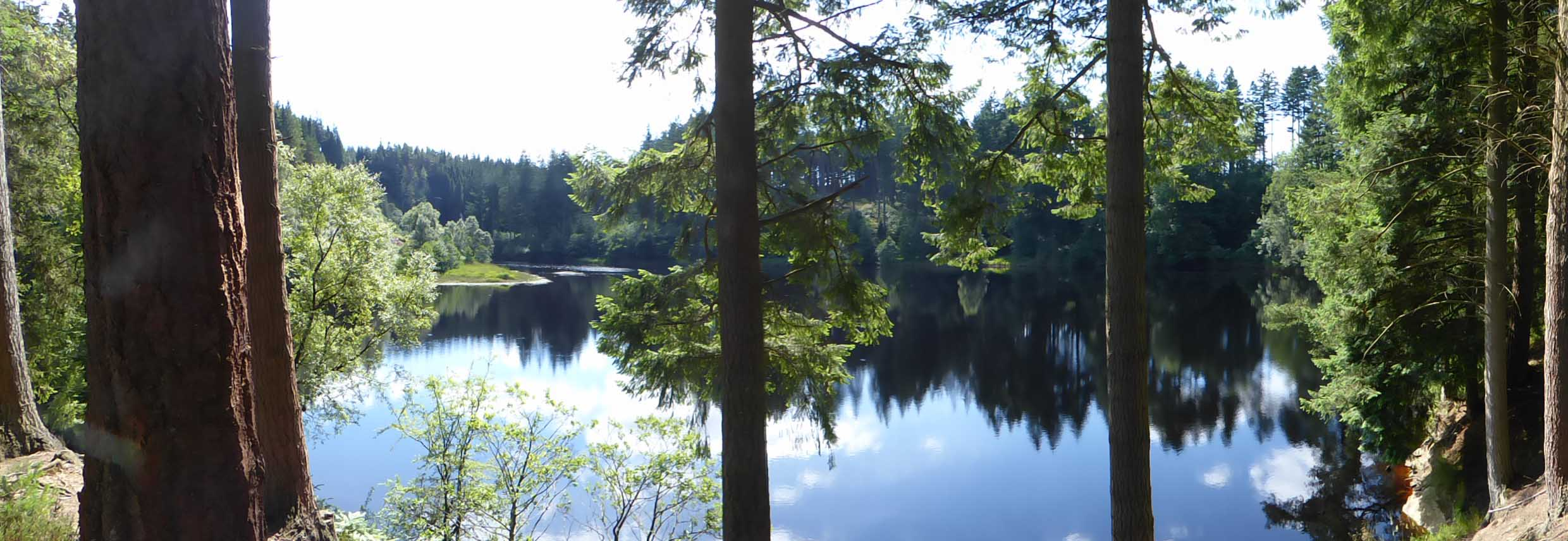 Panoramic shot of tall tree trunks with water beyond