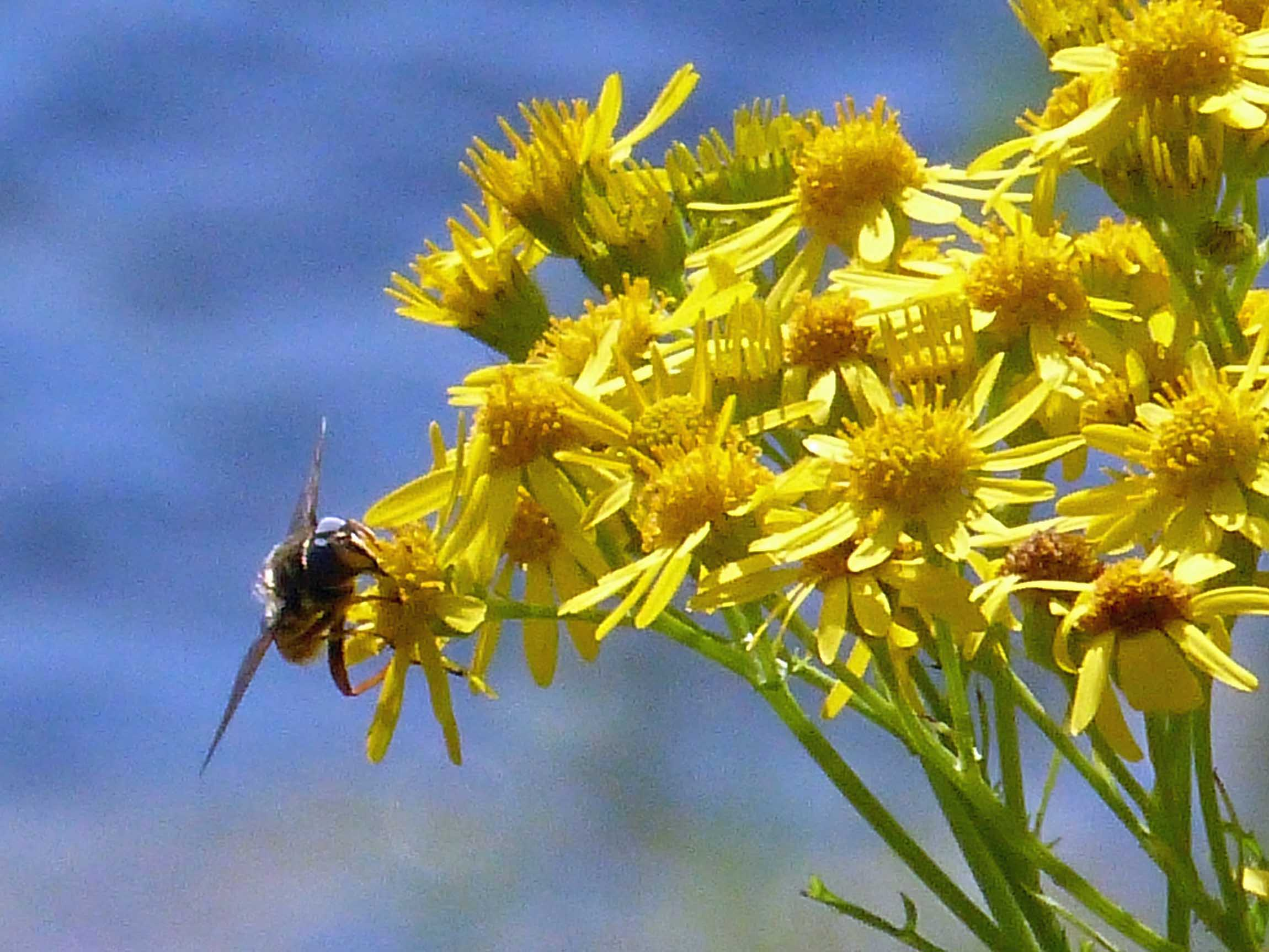 Yellow flowers with bee