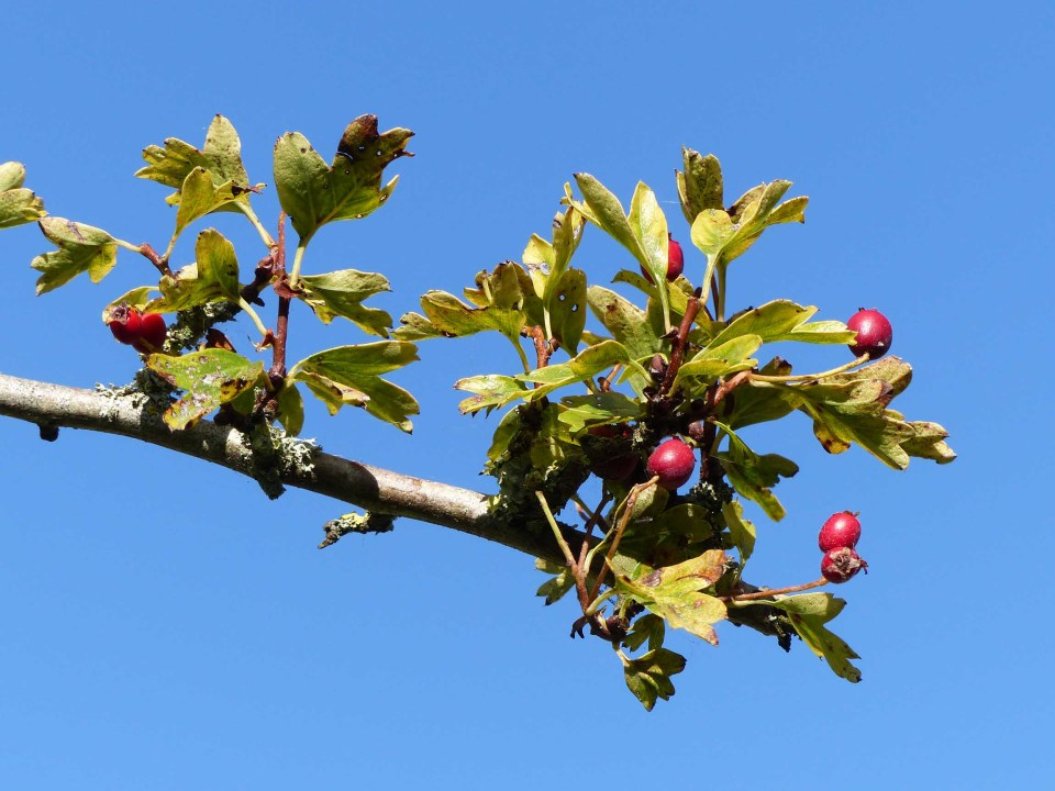 Branch of hawthorn tree with berries