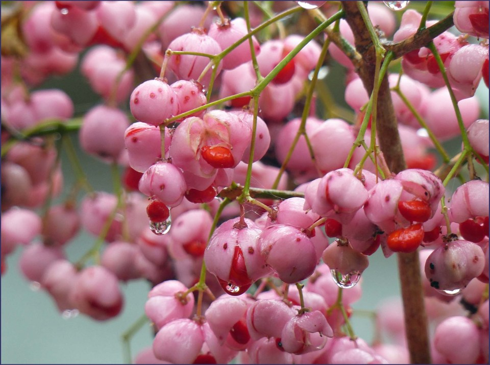 Pink berries with raindrops