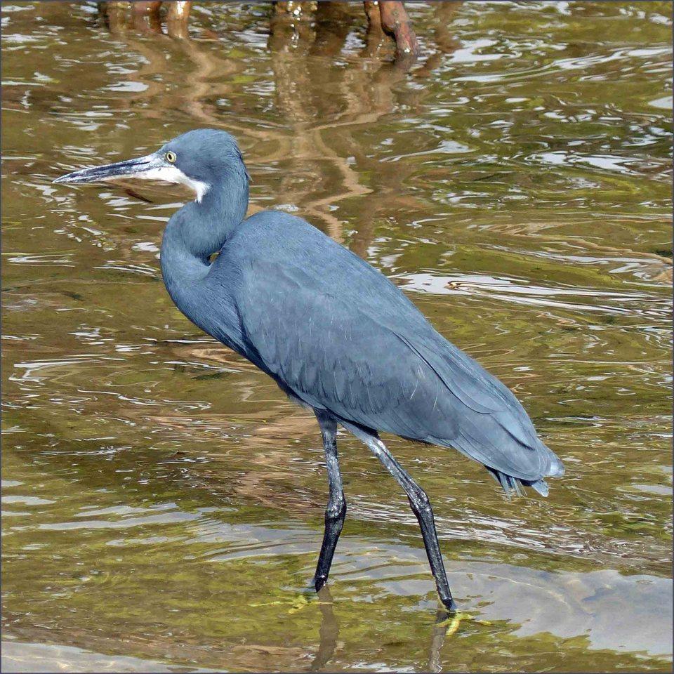 Large grey bird wading