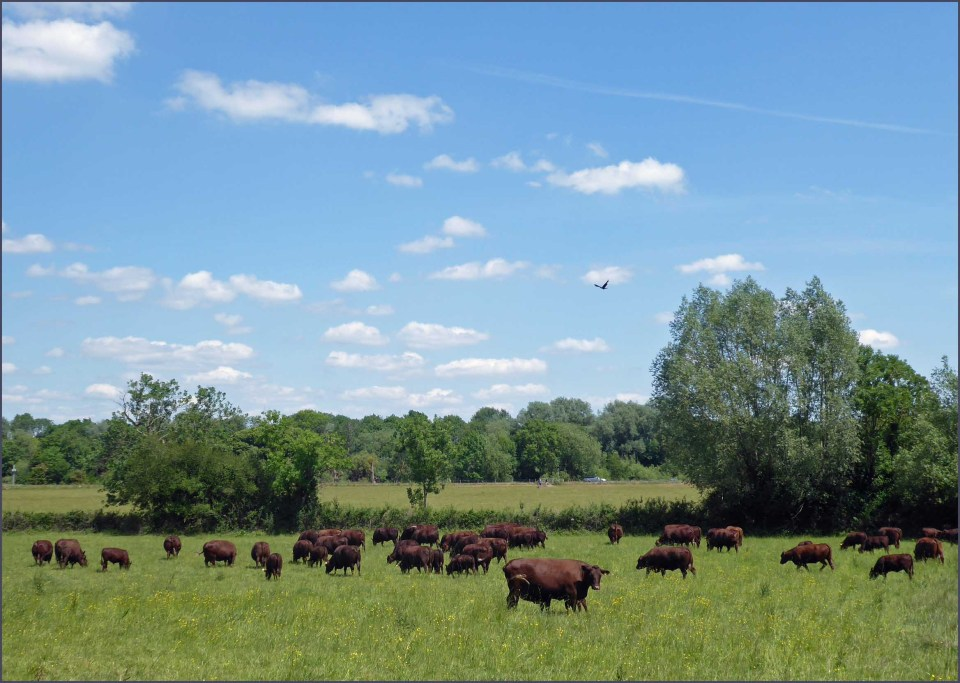 Green field and brown cows