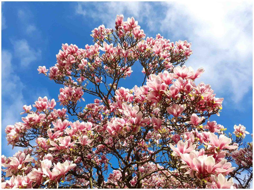 Looking up at a magnolia tree