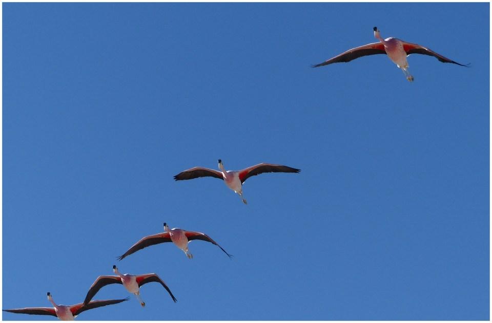 Five flamingos flying overhead