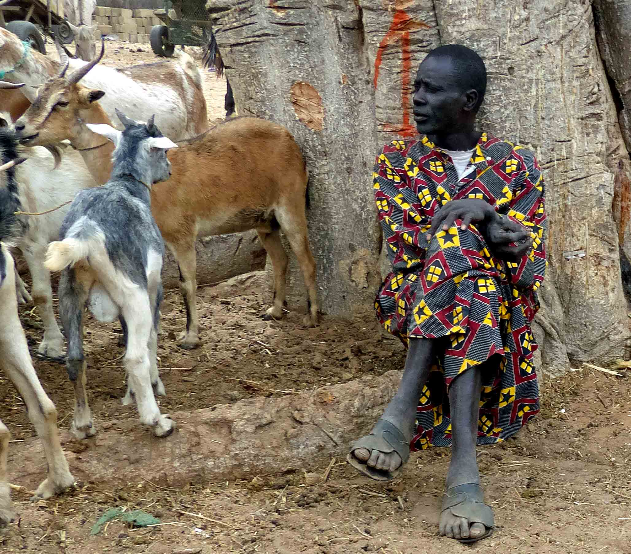 Man leaning against a tree with goats