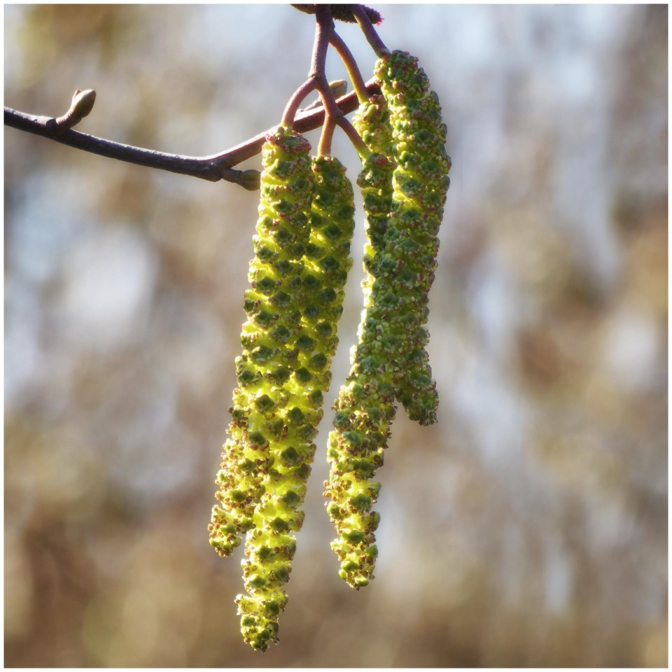 Catkins hanging from a twig