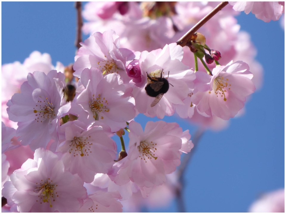 Pink blossom and a bee