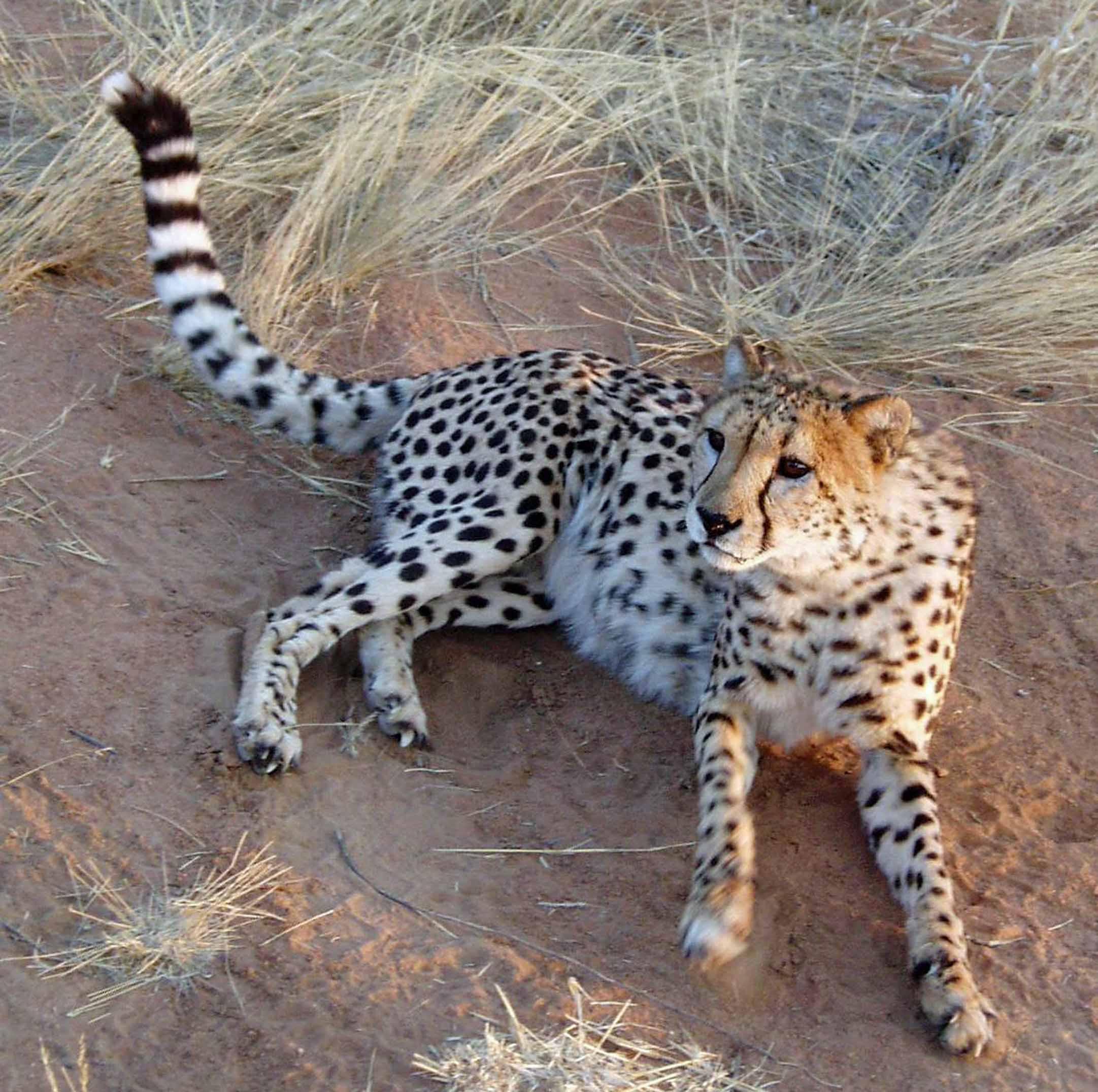 Cheetah sitting on dry earth
