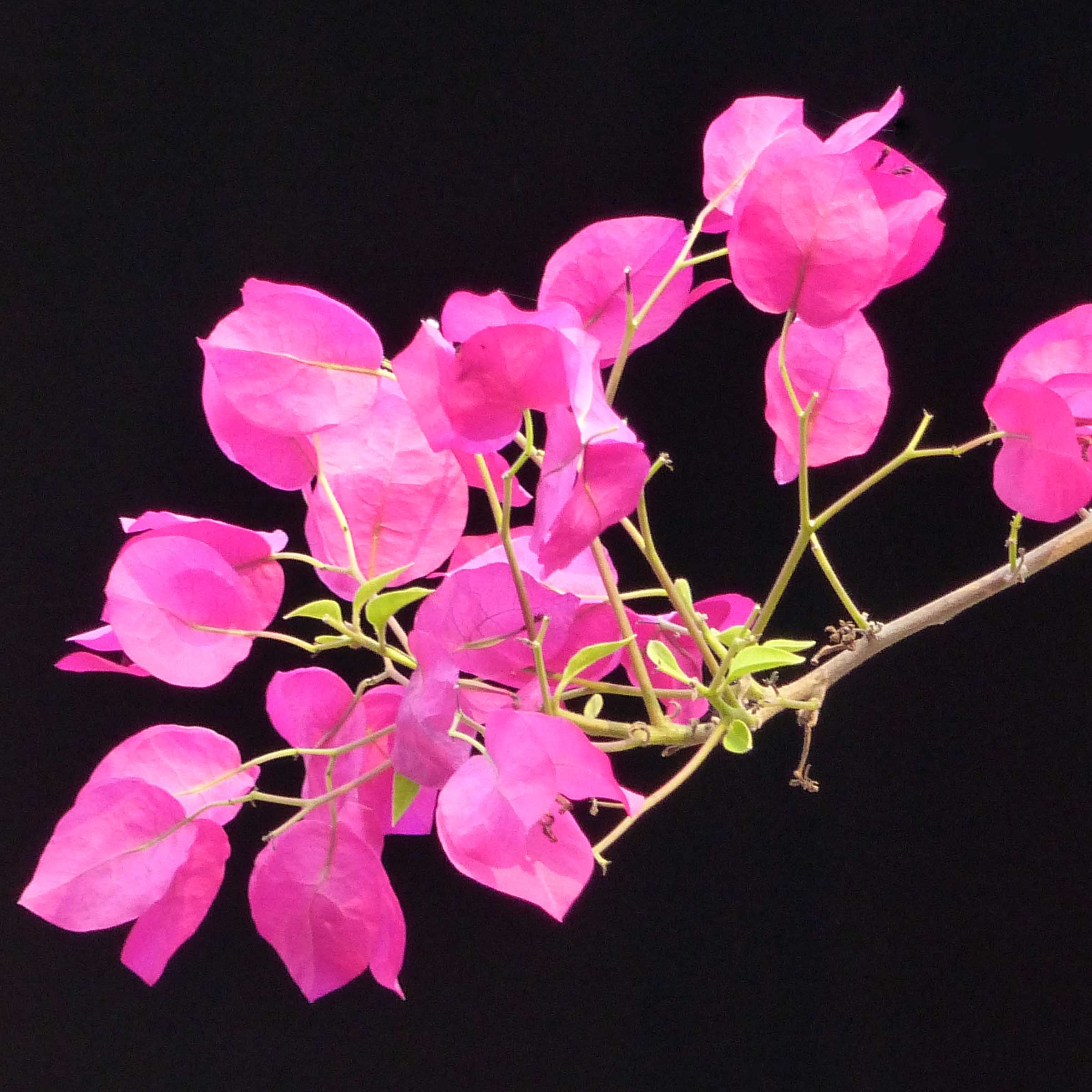 Pink flowers against black background