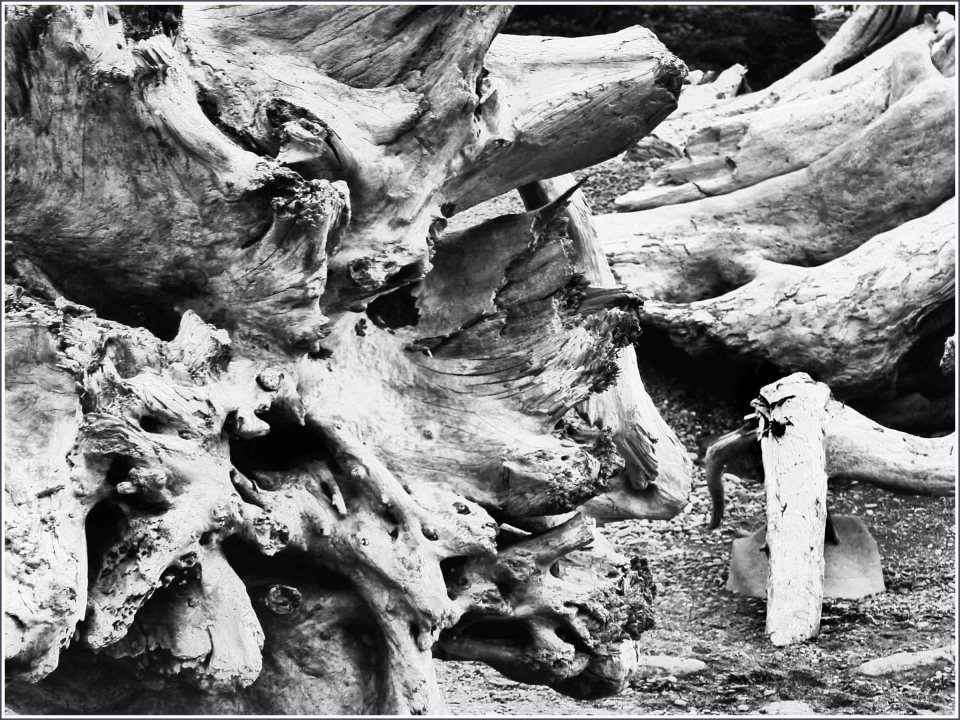 Black and white photo of weathered tree trunks