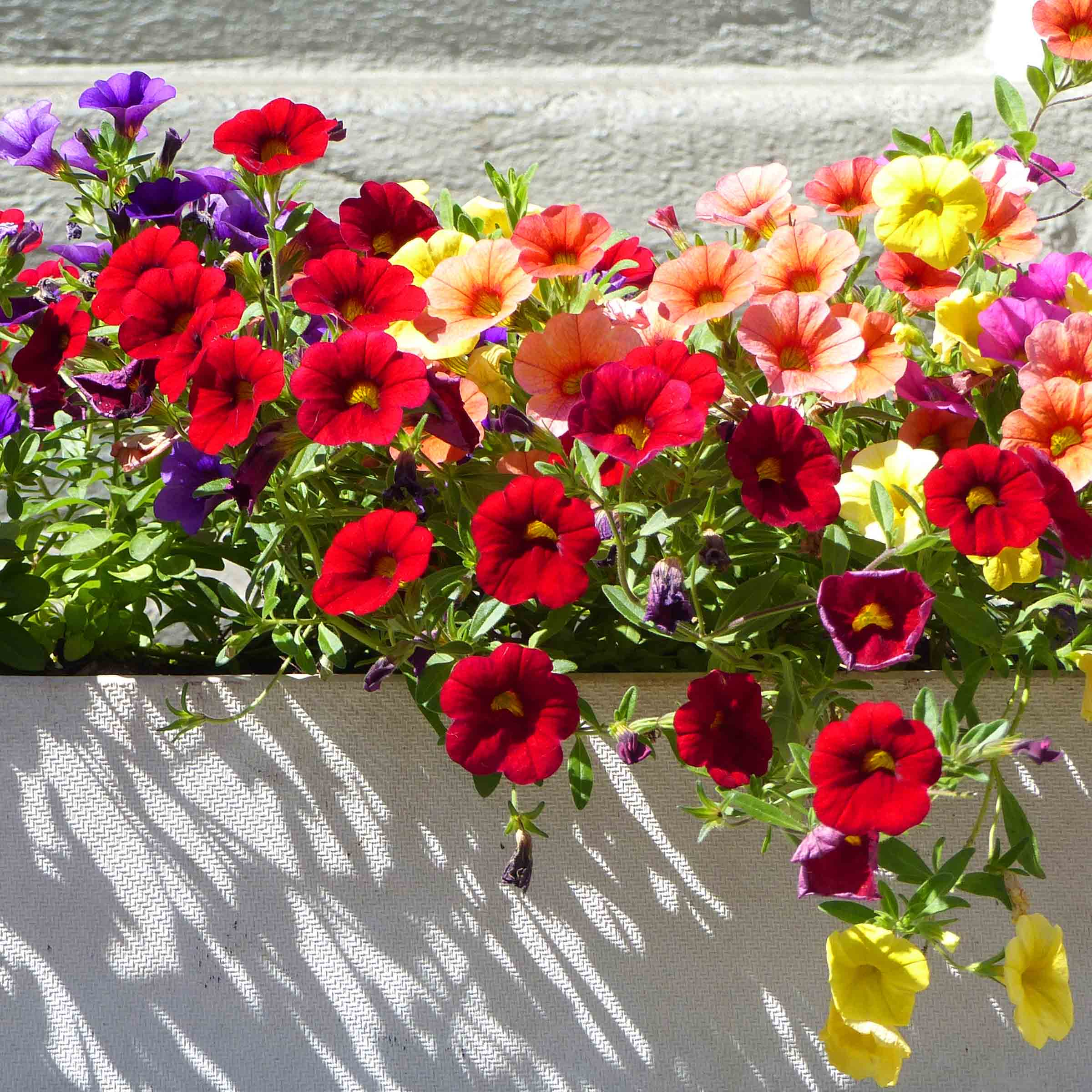 Colourful flowers in a white pot