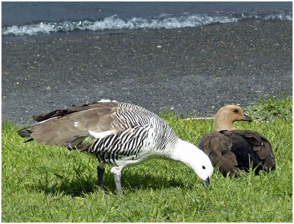 Brown and white goose and all brown goose on grass by water's edge