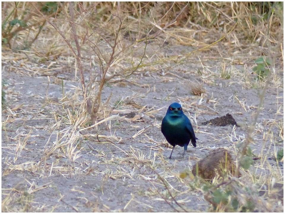 Shiny blue bird on scrubby ground