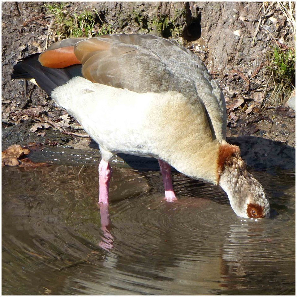 Brown goose drinking from a stream