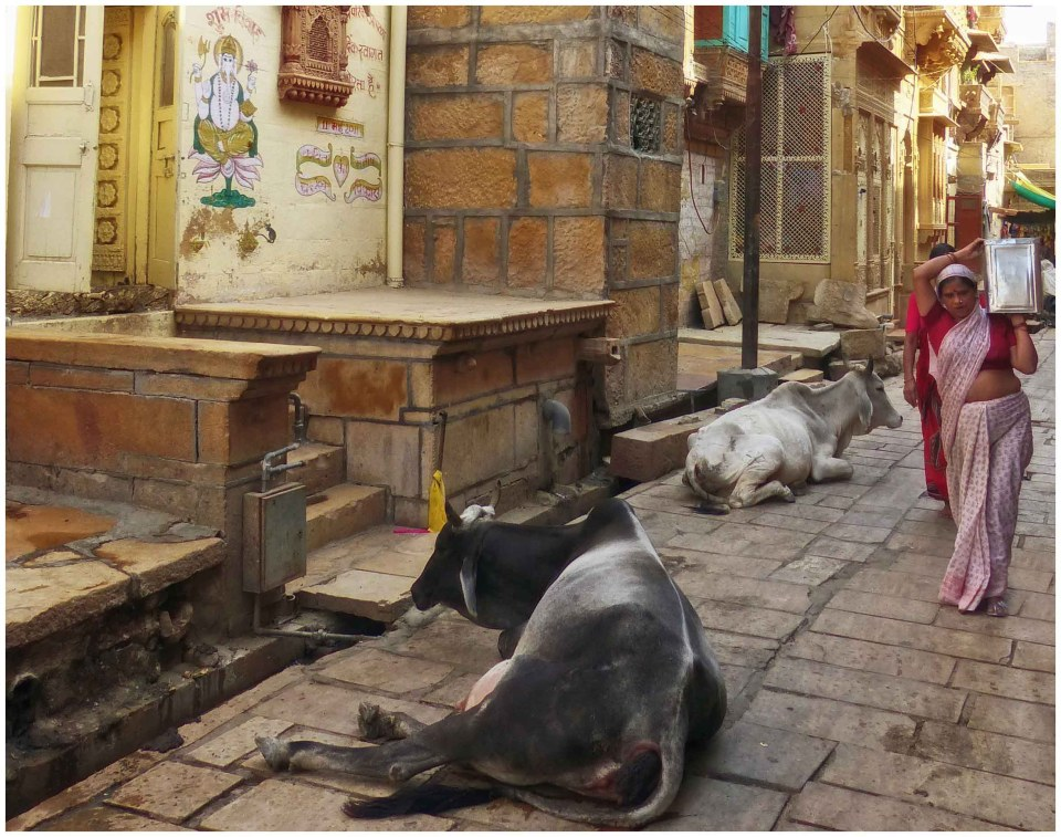 Lady carrying tin can past cows on a narrow street