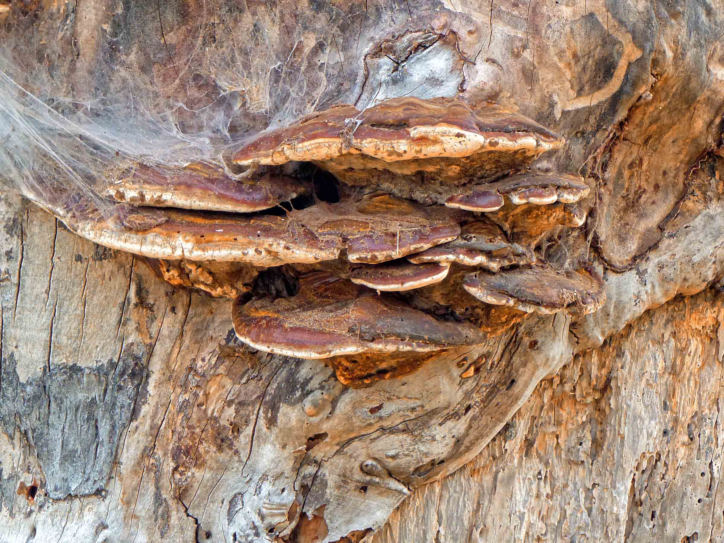 Bracket fungus and cobwebs on tree trunk
