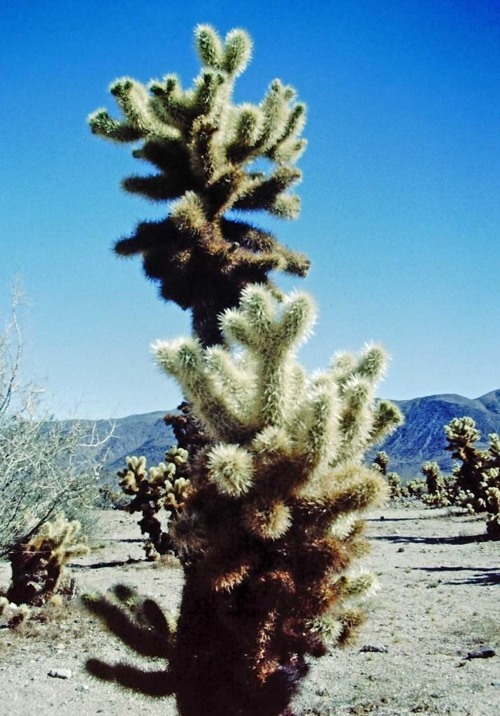 Large cactus in desert landscape