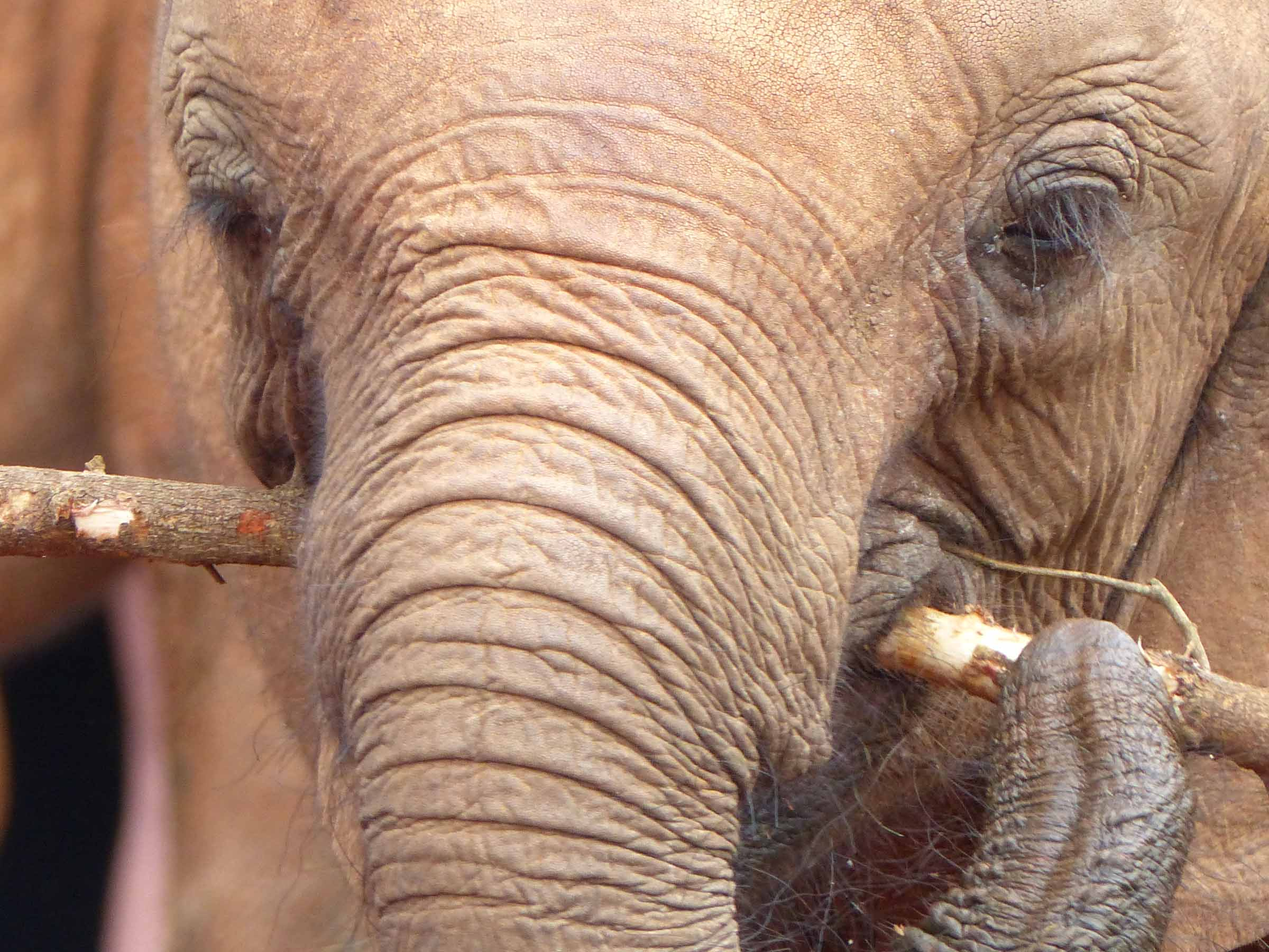 Elephant with branch in his mouth