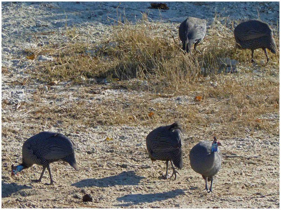 Five grey birds on scrubby ground