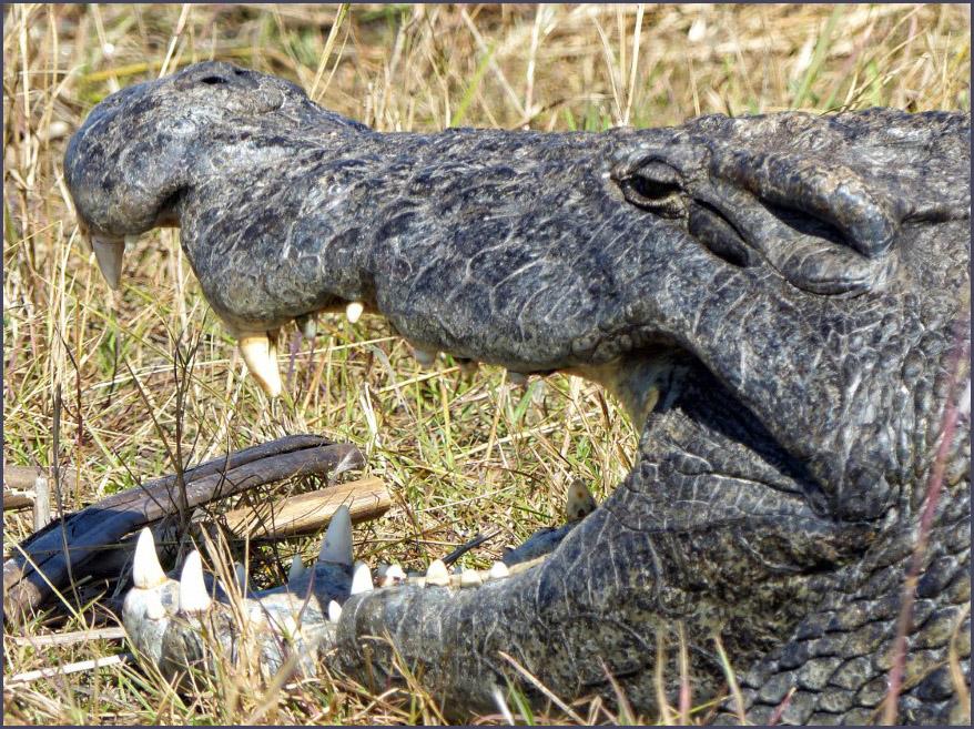 Crocodile's head, mouth open