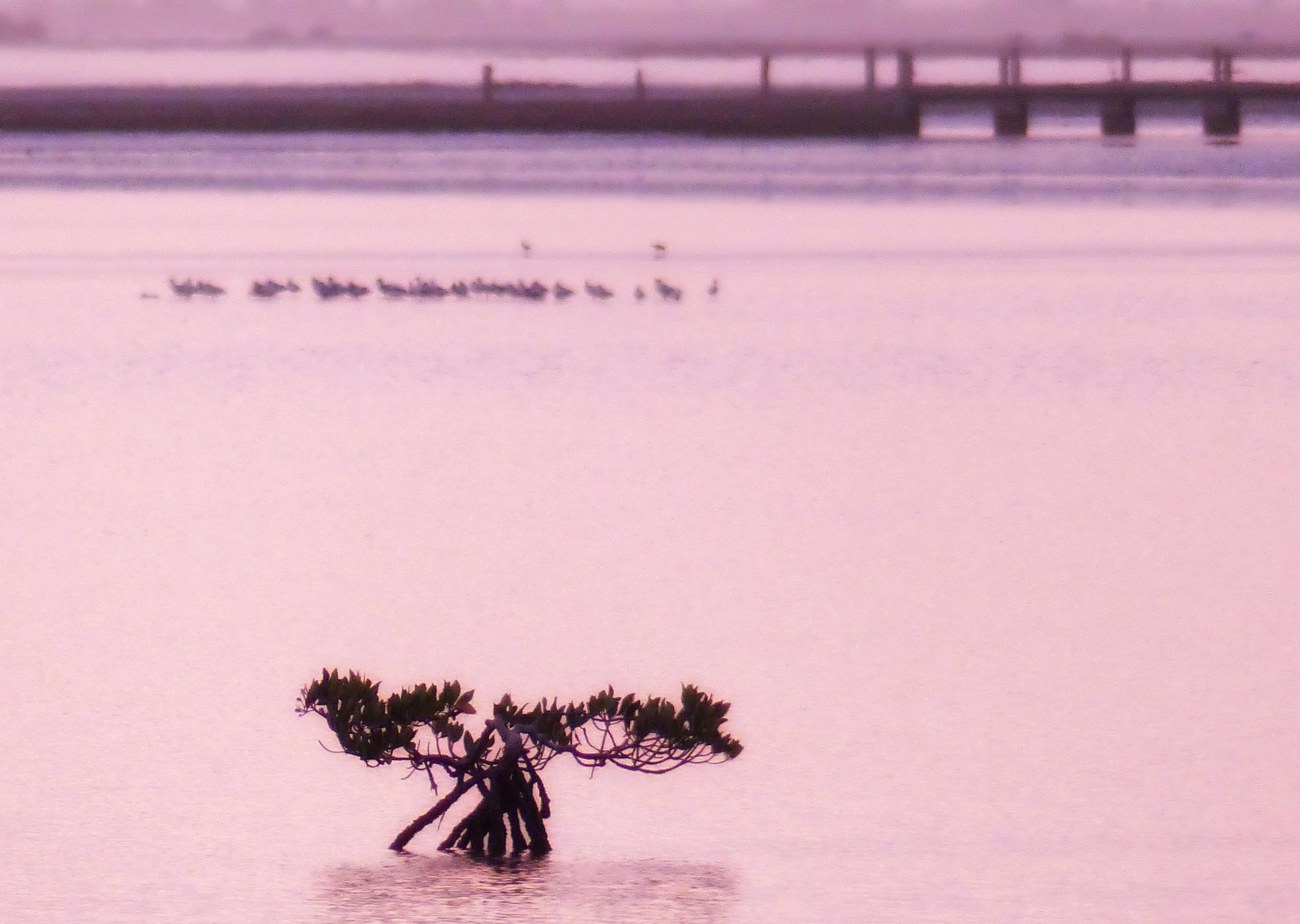 Mangroves in a lagoon in pink light