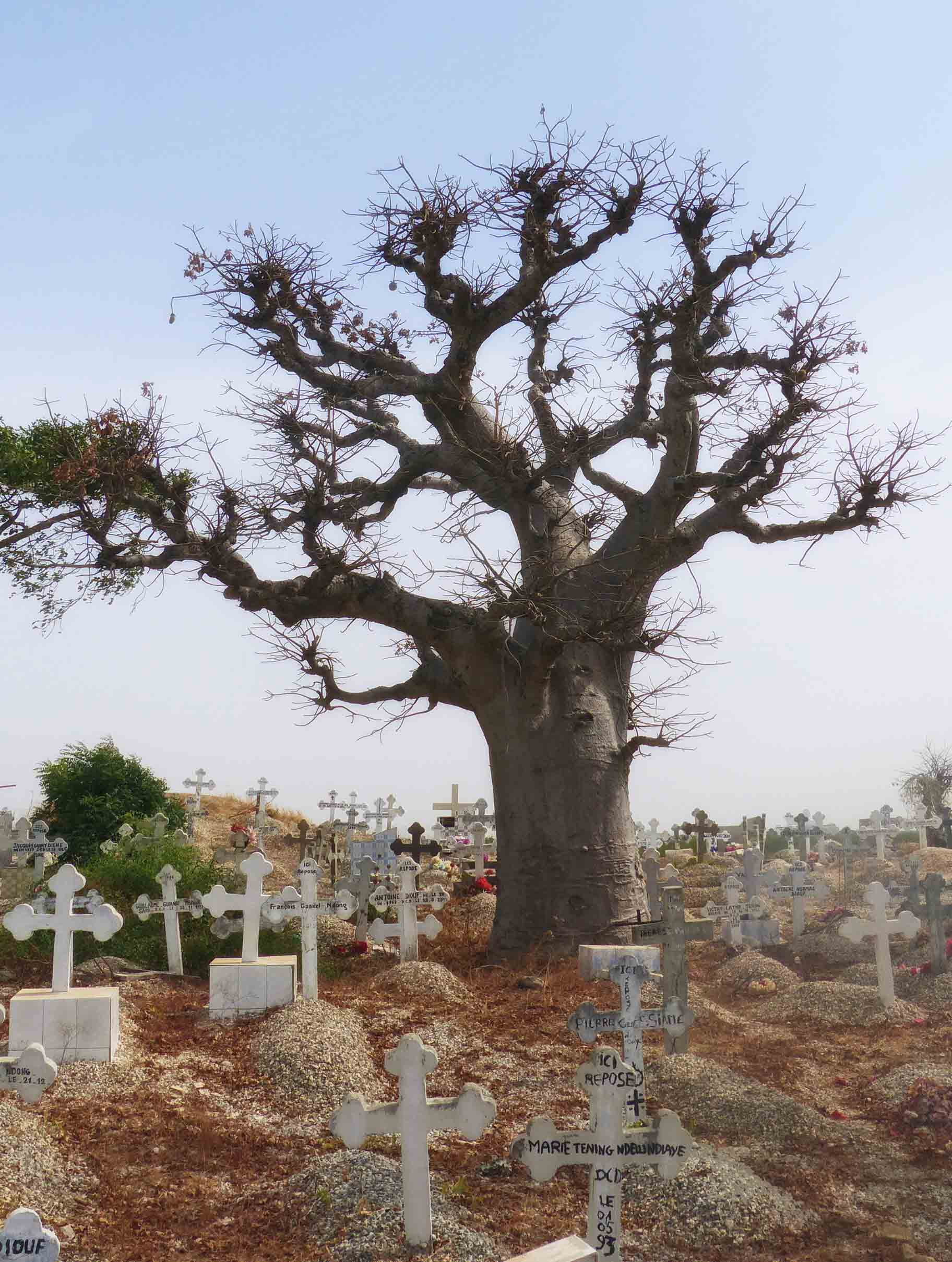 Large banyan tree and white crosses
