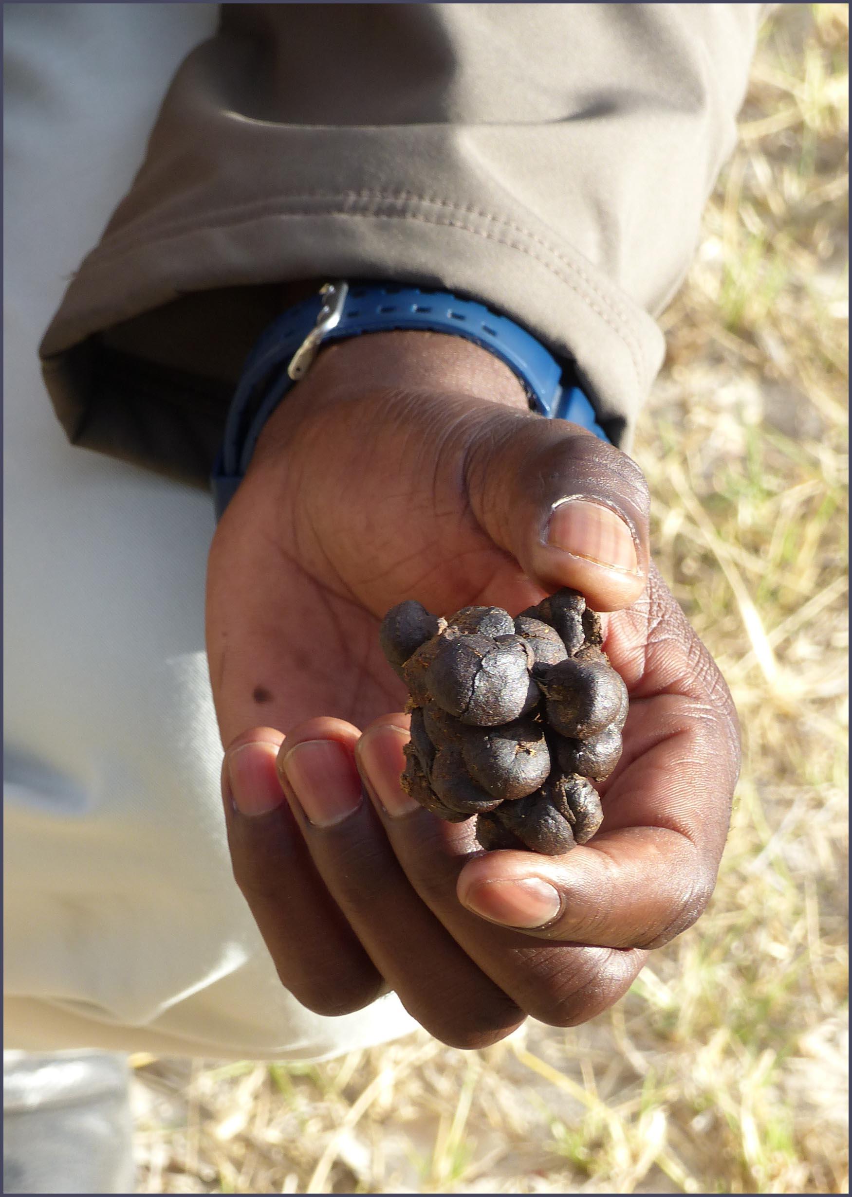 Hand holding animal dung