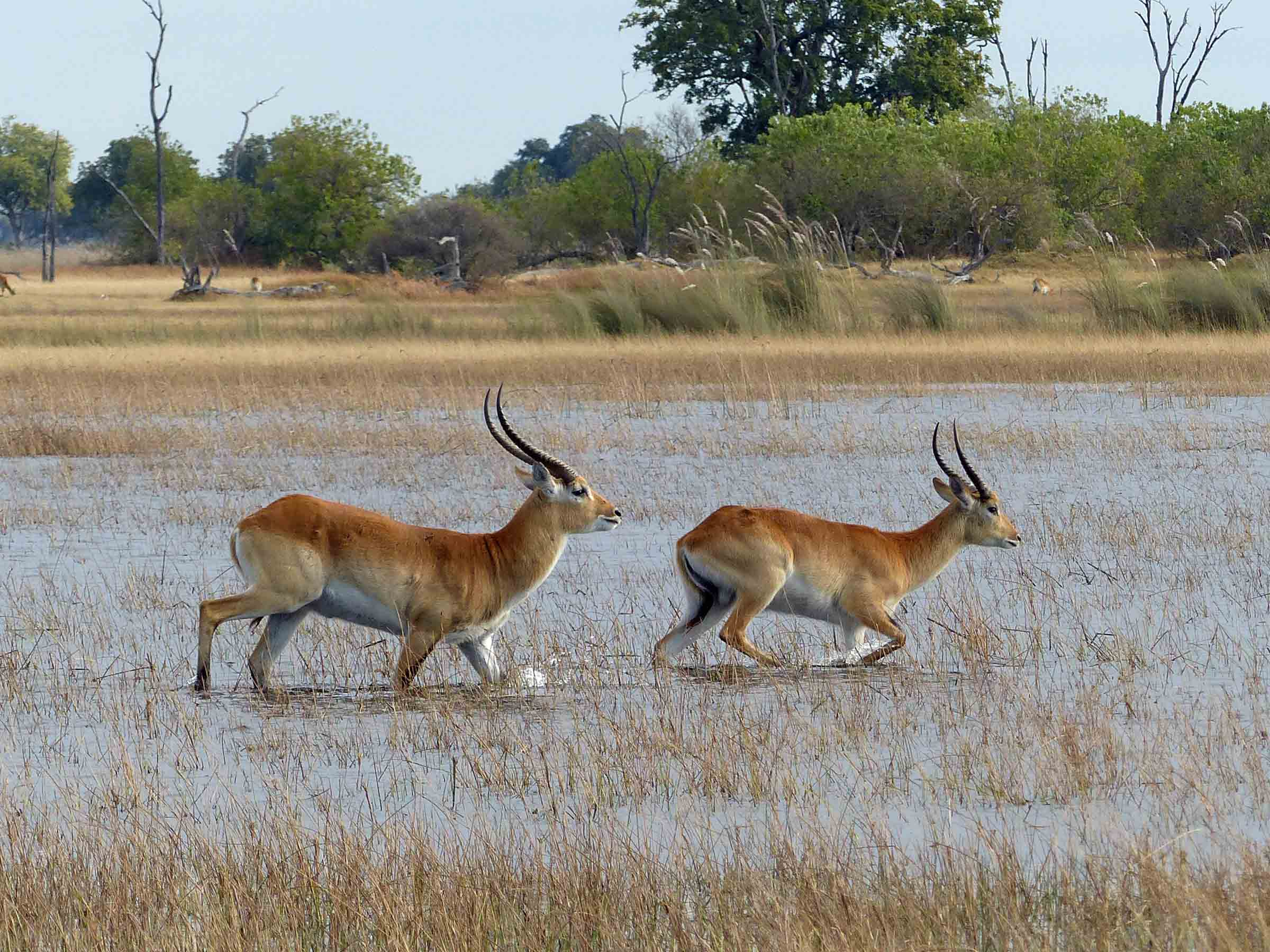 Two deer running through shallow water