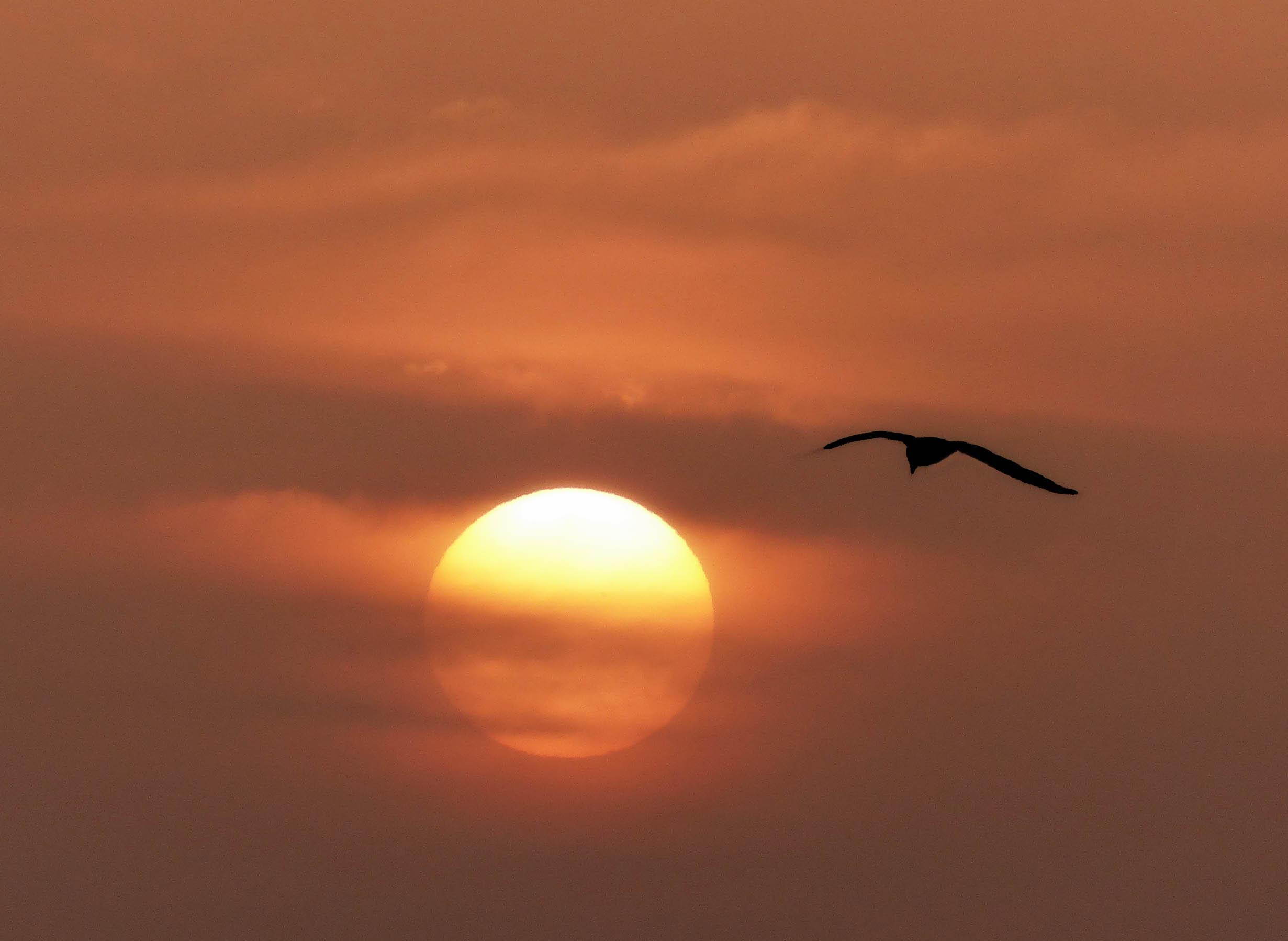 Gull flying past sun with orange sky