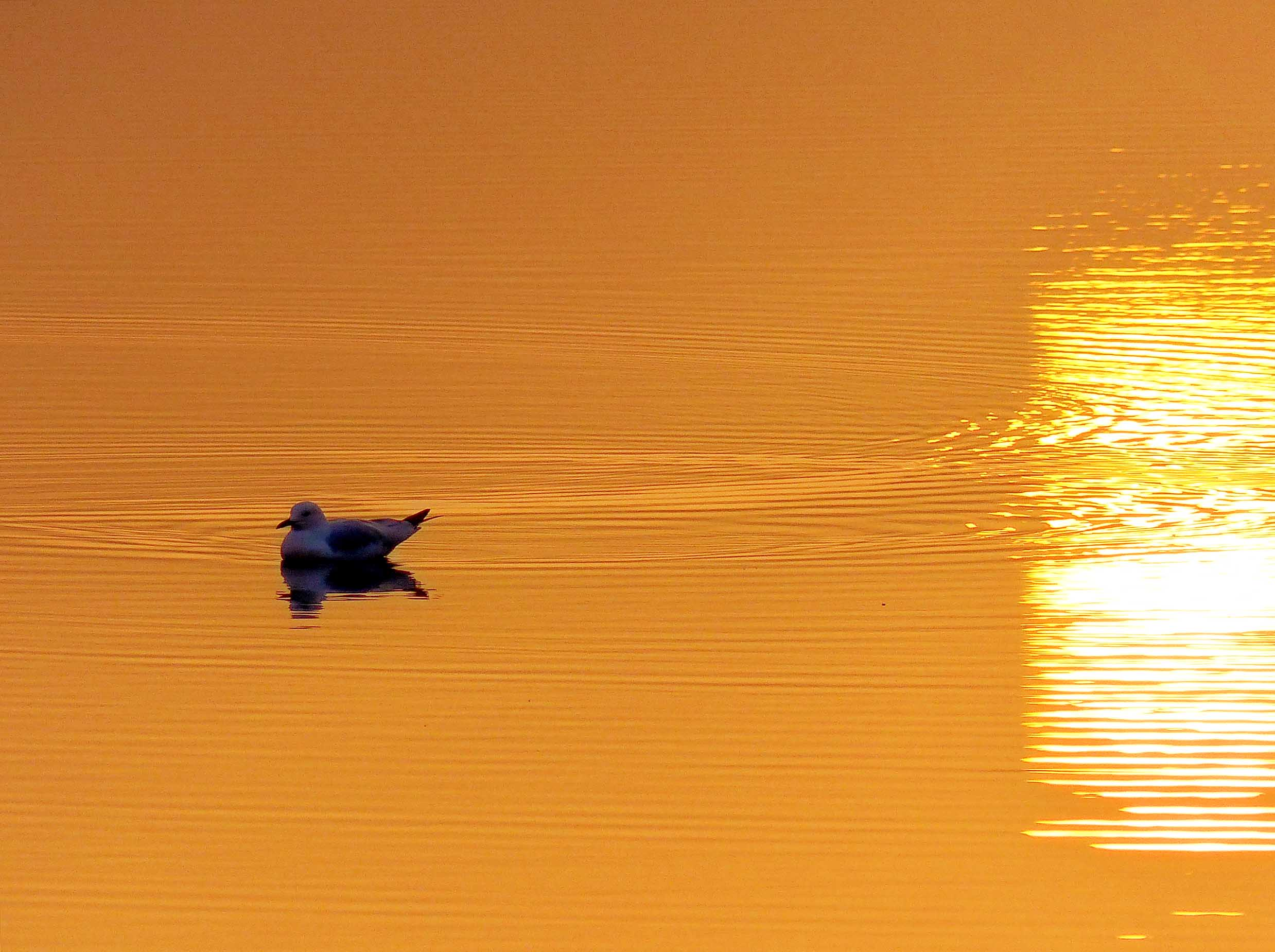 Seagull floating on orange water