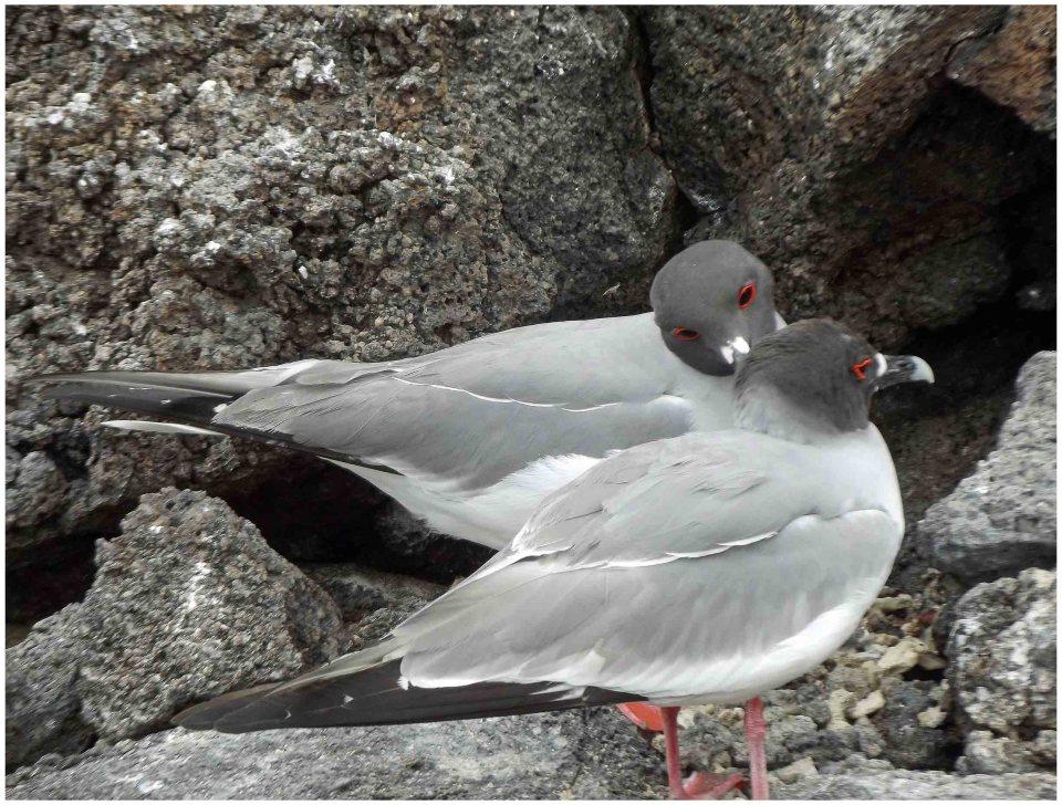 Two gulls on lava rocks