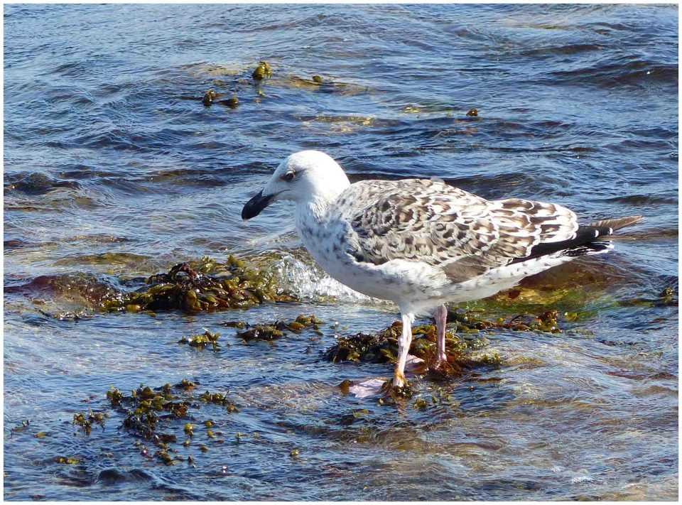 Brown and white gull in rocky water