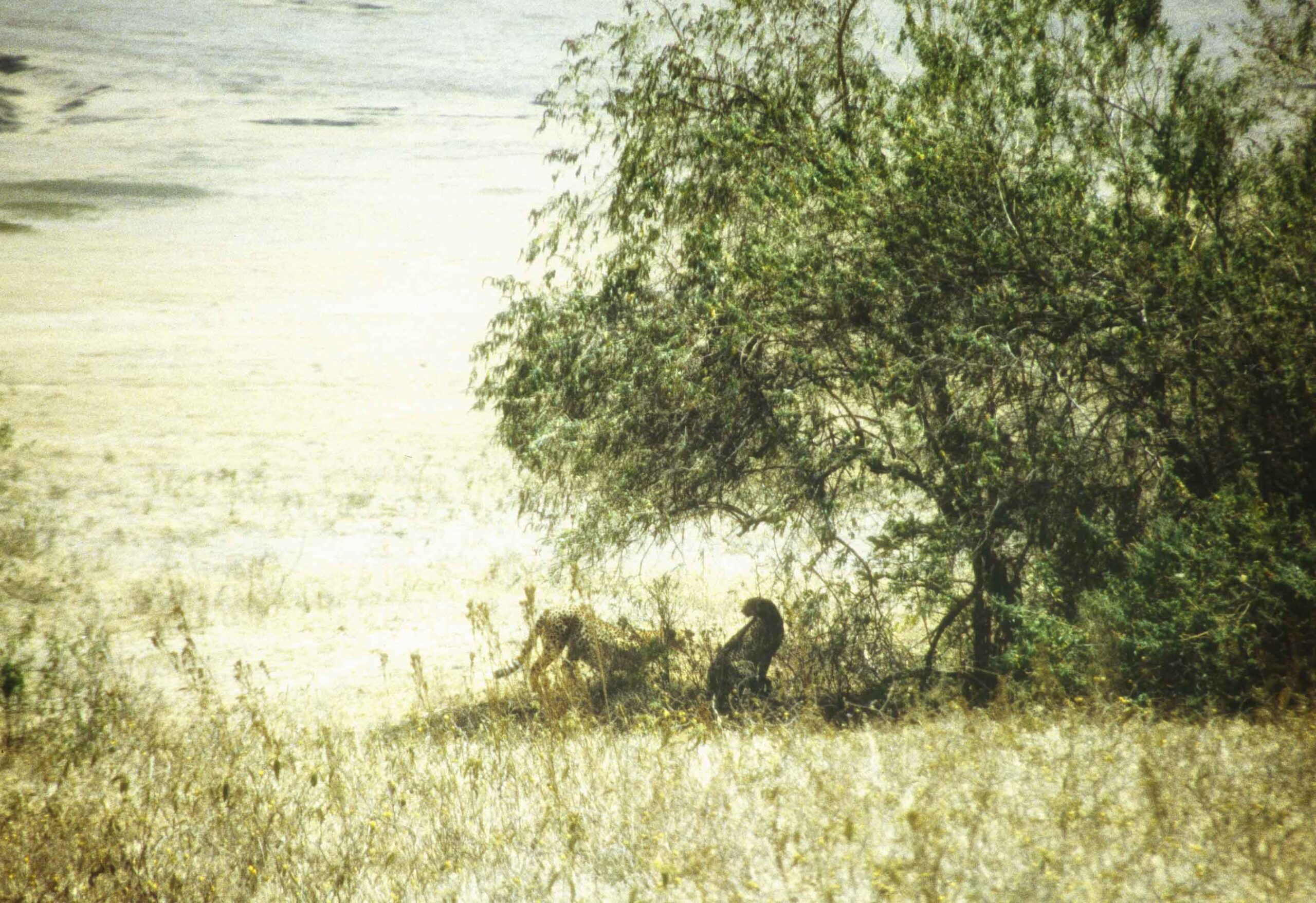 Two leopards in the middle distance under a tree