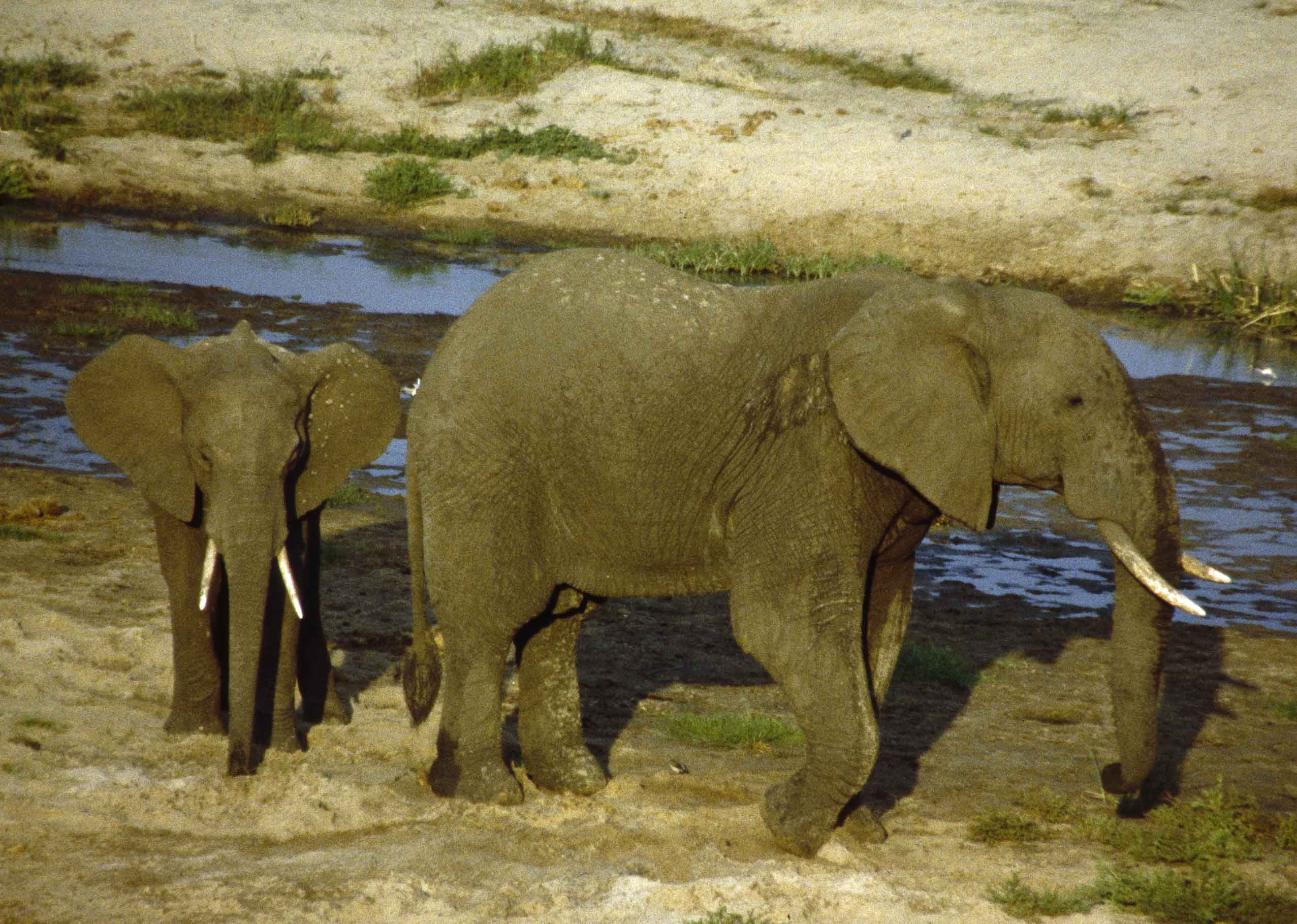 Two elephants by a small river