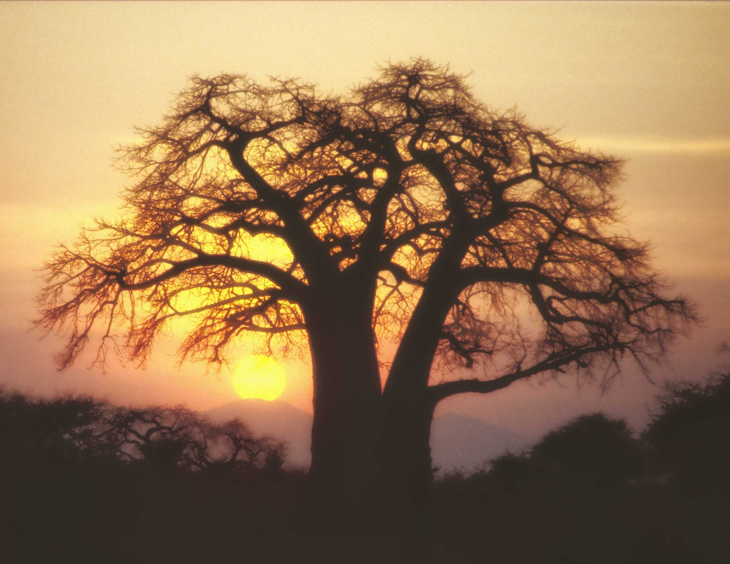 Large tree silhouetted against setting sun