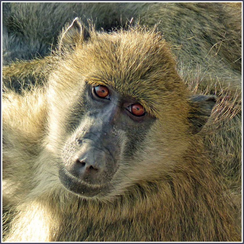 Face of a baboon looking at the camera
