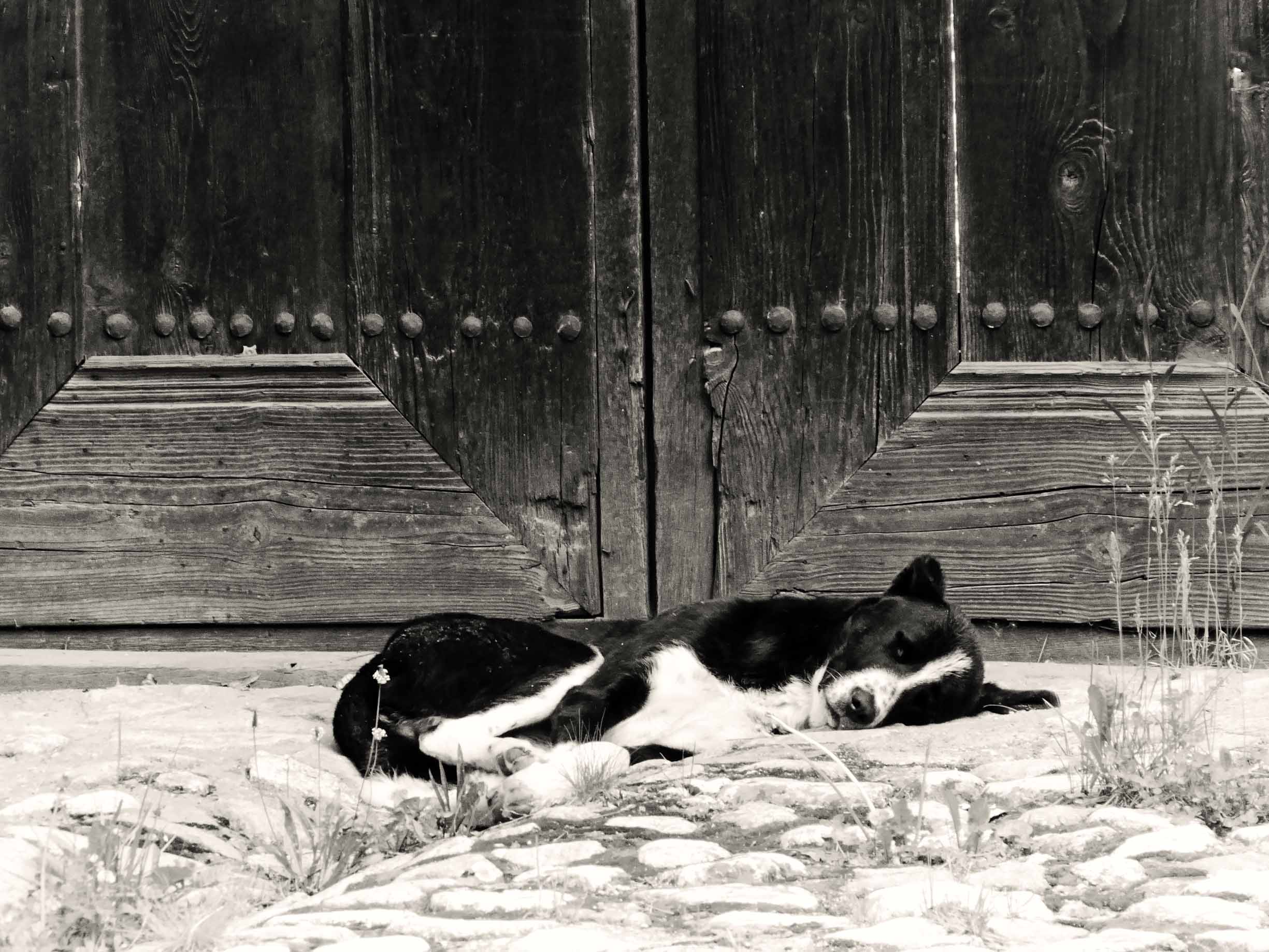 Black and white dog lying in front of wooden gates