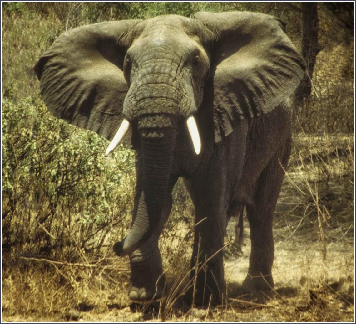 Large elephant walking towards camera