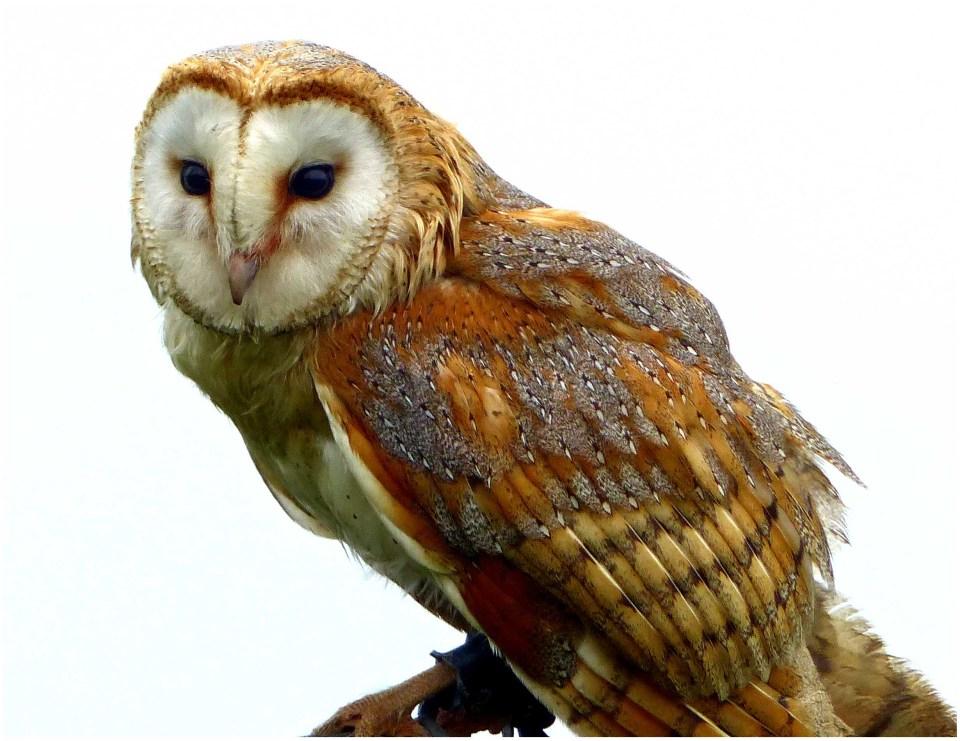 Tan and white owl