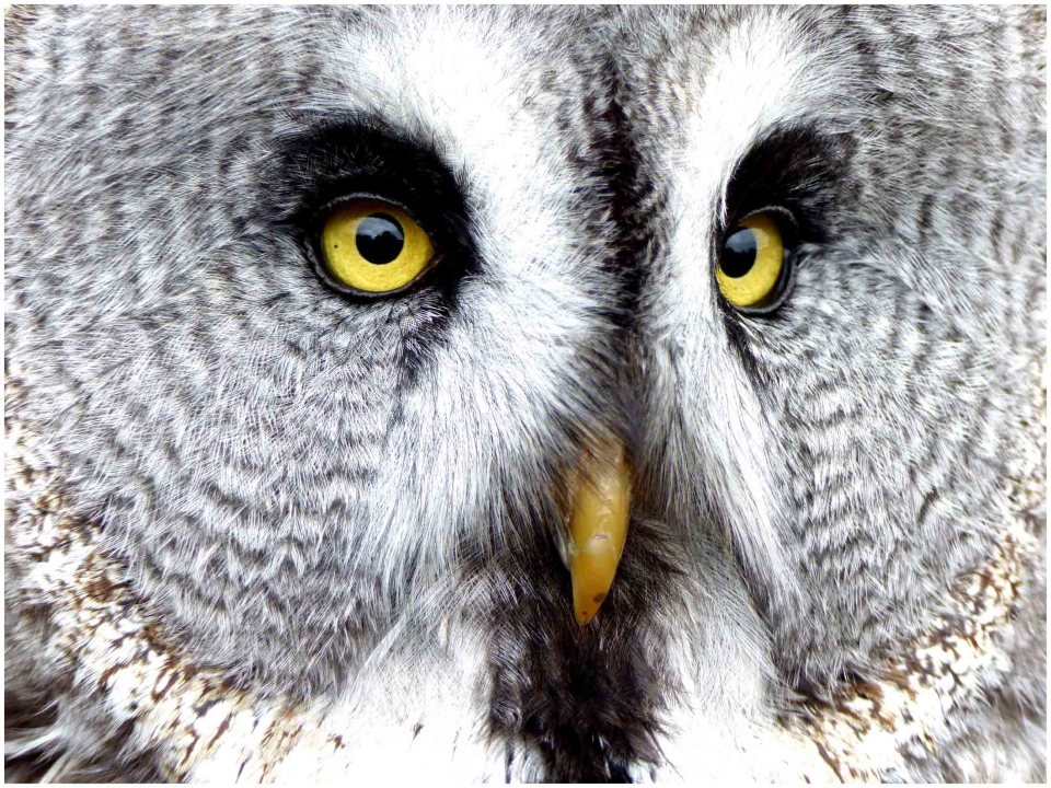 Close-up of owl's face, white with grey markings