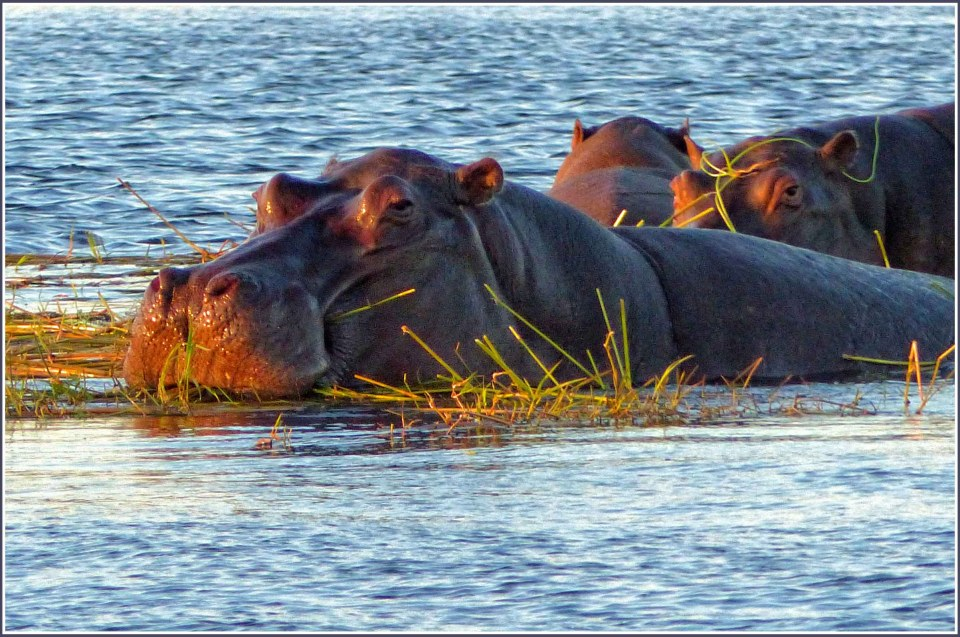 Hippos among reeds in a river