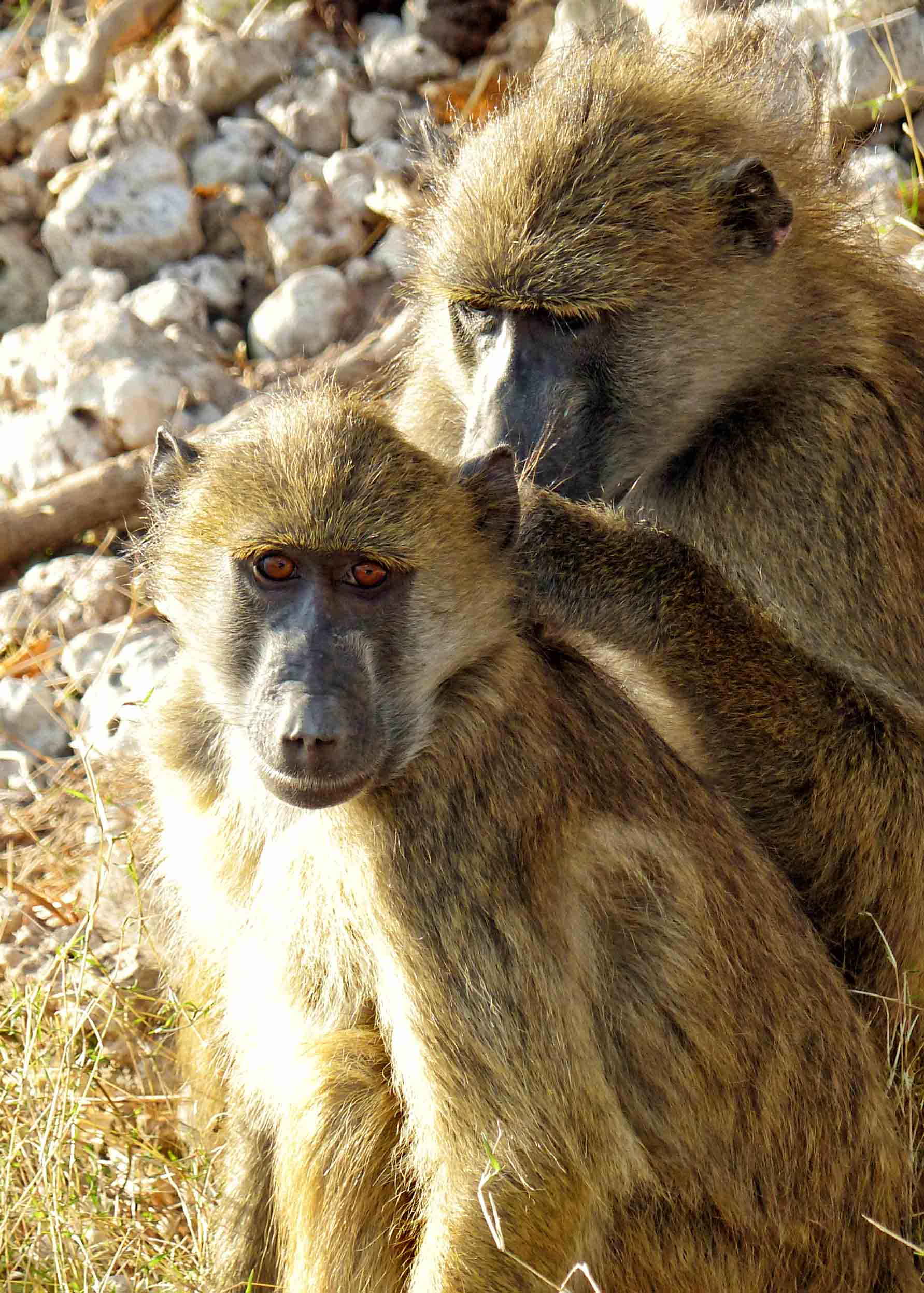 Two baboons grooming