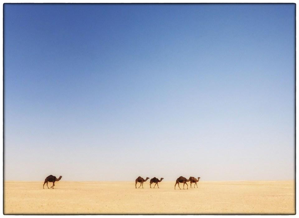 Desert landscape with blue sky and camels