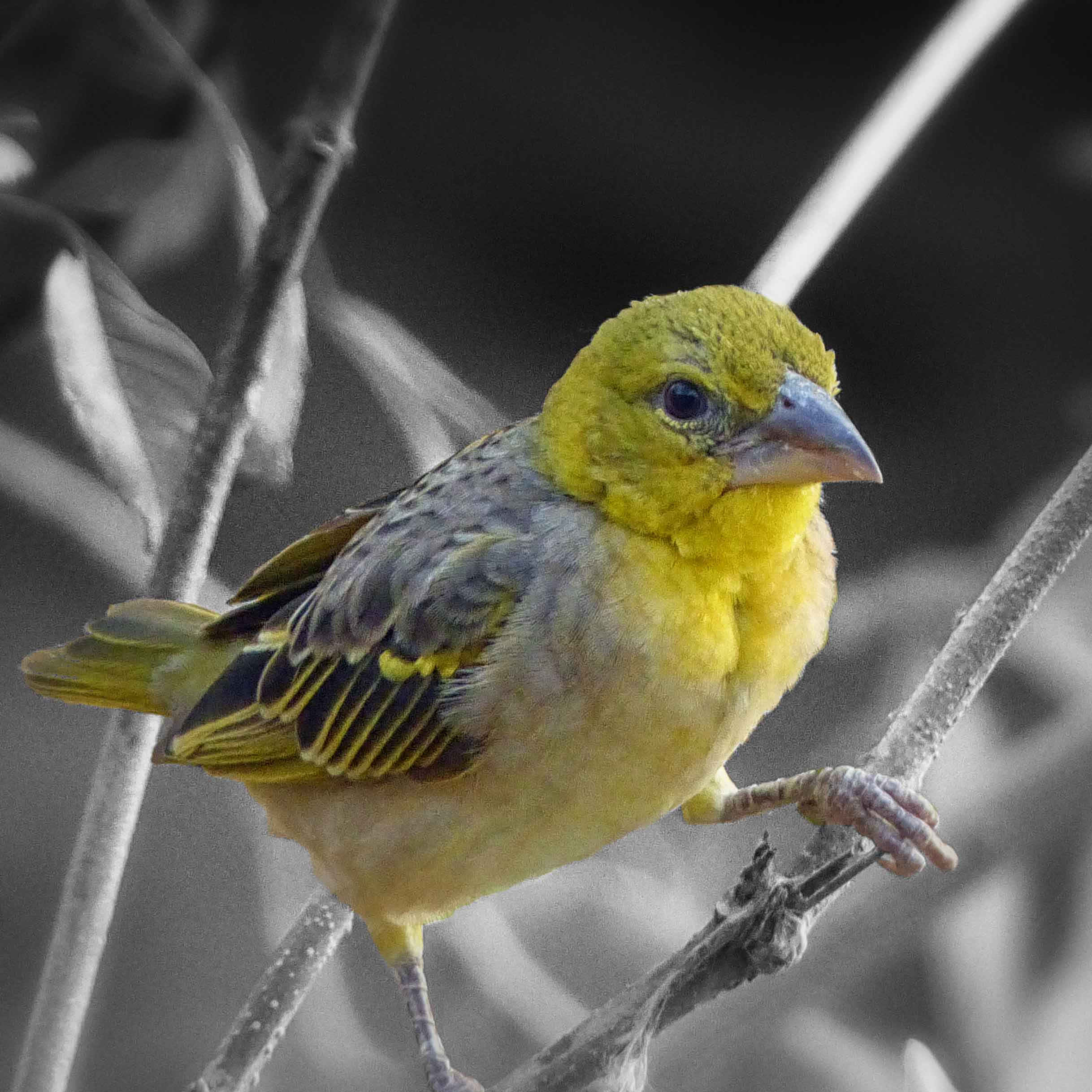 Small yellow bird in a bus, black and white backgroundh