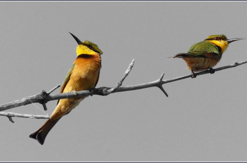 Yellow and green birds on a branch, black and white background