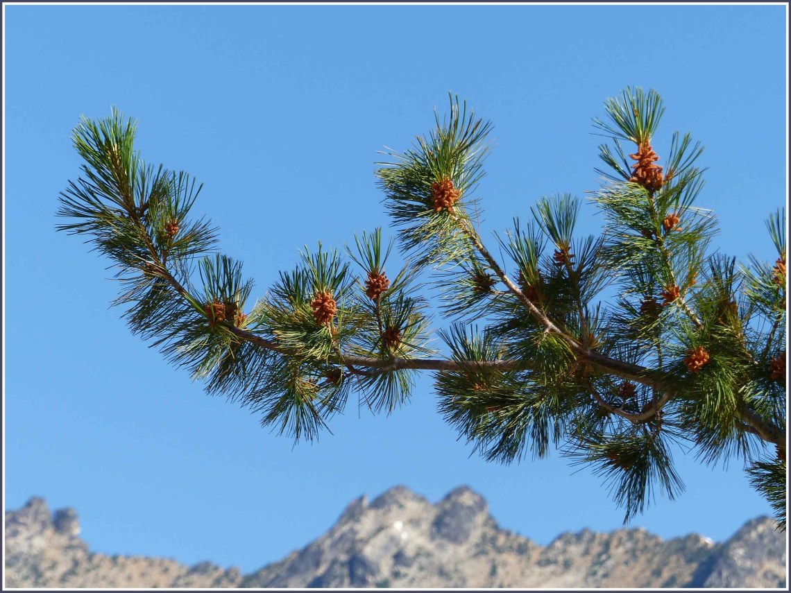 Pine tree branch with out of focus mountains behind