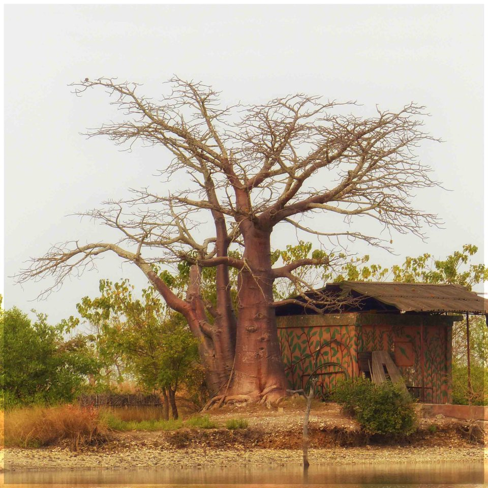 Large bare tree next to a shack