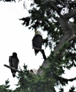 Two large birds in a tree