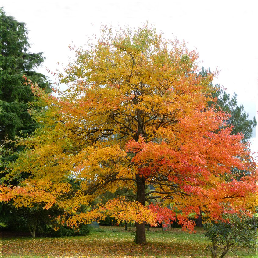 Large tree with orange and golden leaves