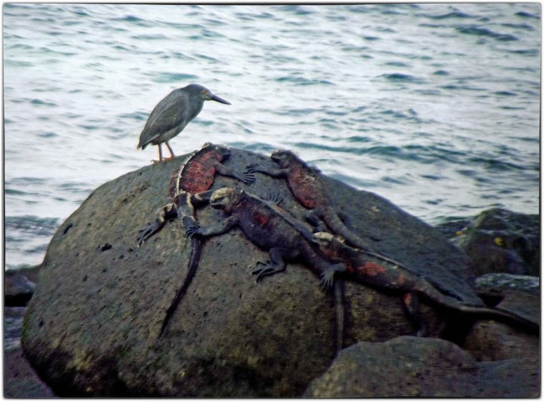 Small grey bird and red and black iguanas on rocks by the sea